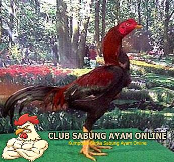 Ayam Pakhoy