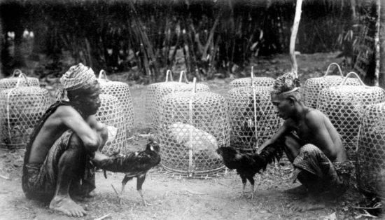 Sejarah Perkembangan Ayam Bangkok