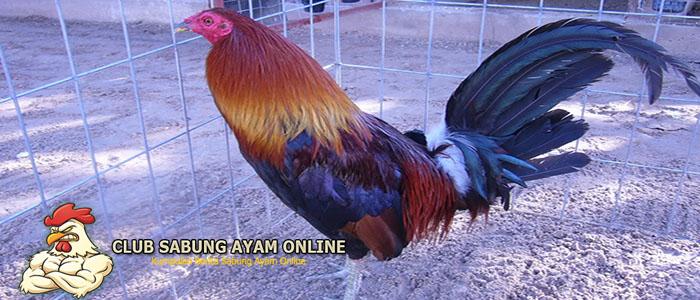 ayam filipina asli