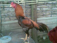 Ayam Bangkok Kelas Berat