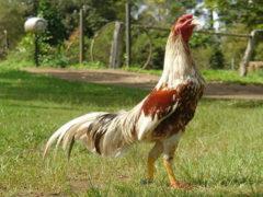 Ayam Bangkok Siap Tarung
