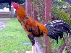 Warna Bulu Ayam Aduan