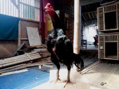 Ayam Bangkok Pembunuh