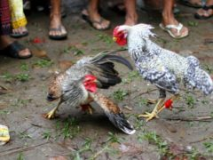 Akibat Bagi Ayam Bangkok