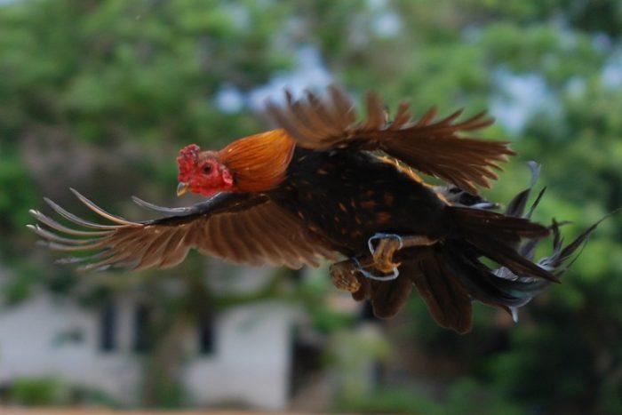 Menjinakkan Ayam Bangkok