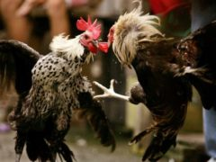 Tiga Syarat Wajib Ayam Bangkok