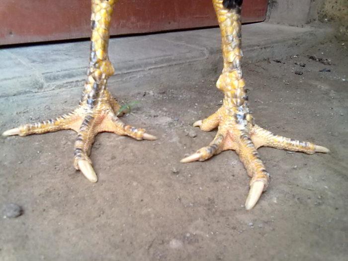 Keras Dan Kering Sisik Kaki Ayam Bangkok