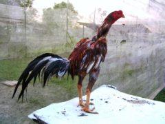 Melatih Leher Ayam Bangkok