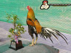 Ayam aduan juara dalam arena sabung ayam
