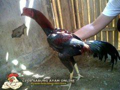 merawat ayam sebelum bertarung
