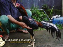 ayam selesai bertarung