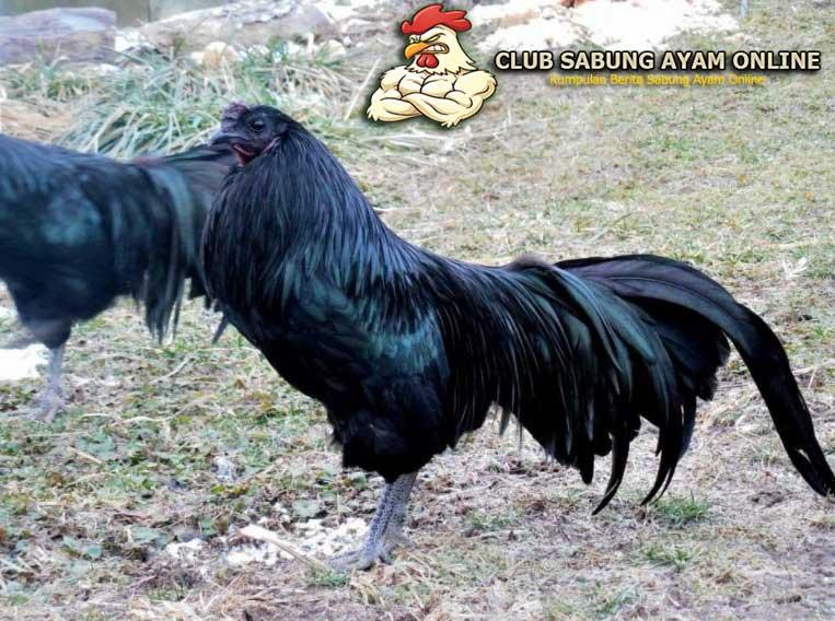 ayam bangkok jergem hitam