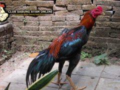 ayam bangkok, ayam aduan juara, sabung ayam online