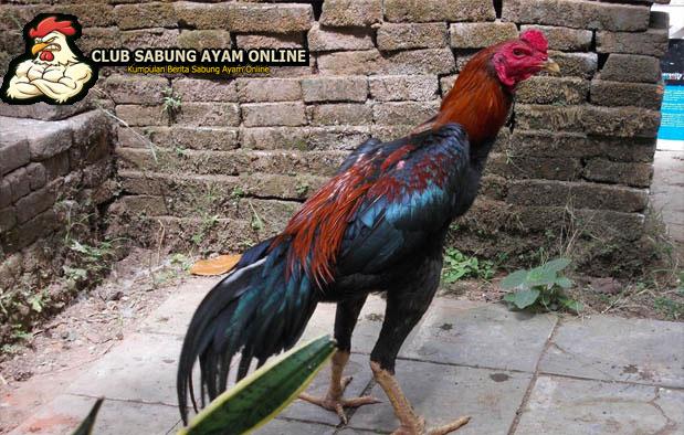 Memilih Ayam Juara Sabung Ayam Online