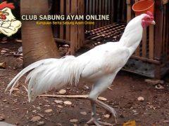 ayam bangkok putih