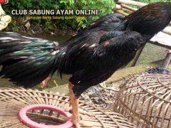 Mitos Kemampuan Ayam Aduan Yang Memiliki Bulu Hitam