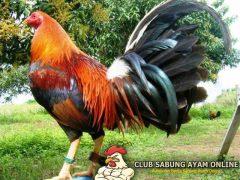 ayam filipina jenis claret