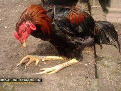 Cara Melatih Kaki Ayam Lemas Pada Ayam Bangkok