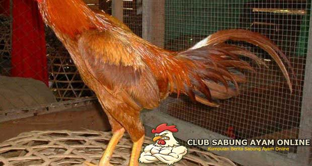 ayam wangkas geni
