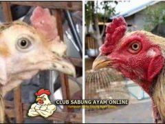 ayam sehat, ayam sakit kuning