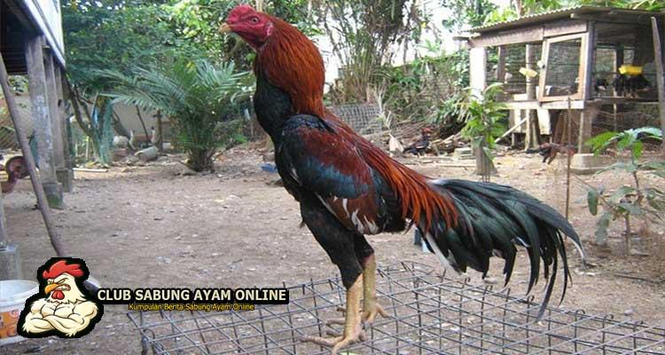 ayam aduan shamo, sabung ayam online