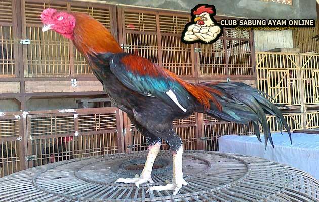 ayam aduan taiwan, ayam aduan super, sabung ayam online