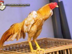 ayam bangkok wangkas emas