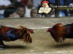 tips menang sabung ayam, trik menang sabung ayam, sabung ayam online, agen sabung ayam