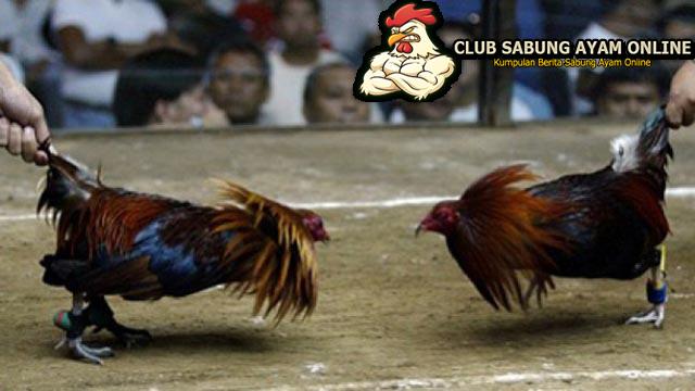Tips Dan Trik menang Taruhan Judi Sabung Ayam Online