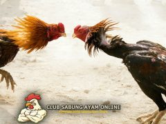 Jamu Yang Membuat Ayam Bangkok Ganas Serta Agresif