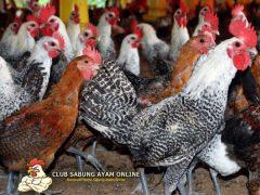 Tips Pemberian Pakan Ternak Ayam Kampung
