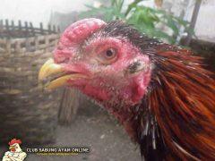 6 Cara Efektif Mengobati Korep pada Ayam Aduan