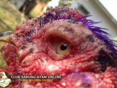Cara Mengatasi Cacingan Pada Mata Ayam