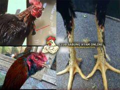 Mengenal Ciri Ayam Aduan Simbar Telak
