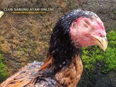 Cara Mengobati Ayam Yang Mengalami Snot