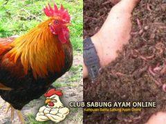 Khasiat dan Manfaat Cacing Tanah Untuk Ayam Aduan