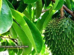 khasiat dan manfaat daun sirsak untuk ayam Bangkok