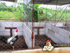 kandang ayam aduan segala cuaca