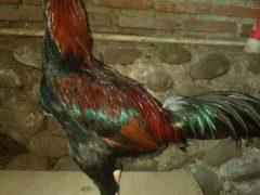 Ayam Pakhoy Brakot Pukul Badan Super Berkualitas