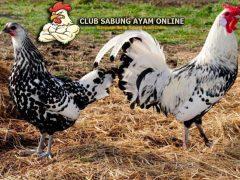 Ayam Hamburg