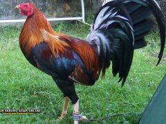 Jenis Ayam Peru Yang Jarang Diketahui