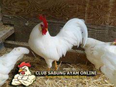 kenali ayam kedu putih