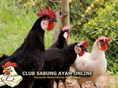 Mengenal Ayam Minorca Yang Dianggap Ras Paling Tua