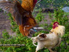 Ciri Ayam Aduan Siap Diadu Dalam Arena