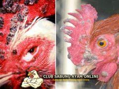 Cara Penyembuhan Cacar Pada Ayam Bangkok