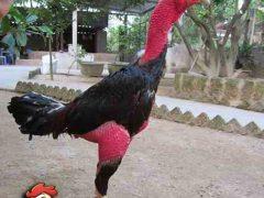 Cara Membuat Kulit Ayam Aduan Tebal Agar Tahan Pukul