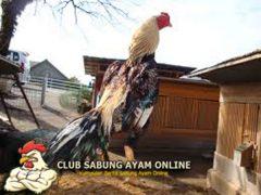 Ciri Khas Dan Kelebihan Ayam Aduan Shamo