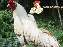 Mitos Ayam Bangkok Putih