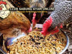 Cara Meracik Voer Bagi Ayam Aduan