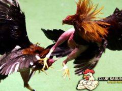 Cara Melatih Tendangan Ayam Aduan